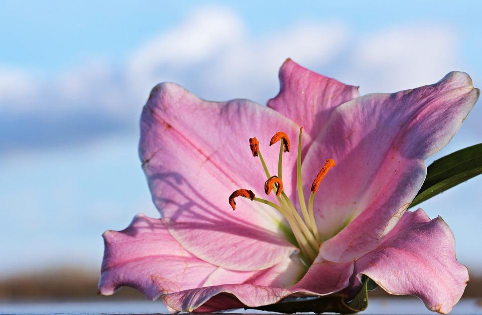 hoa ly hồng