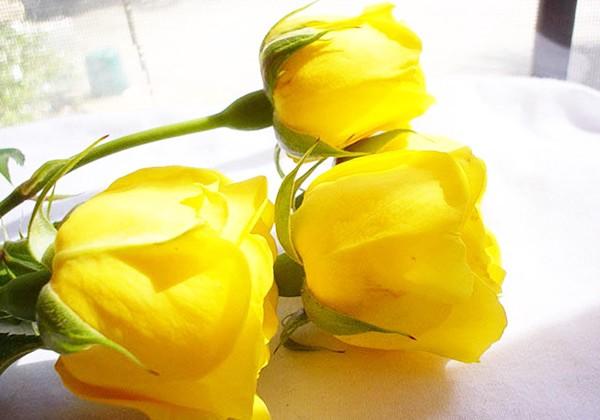 hình ảnh đẹp hoa hồng vàng 8
