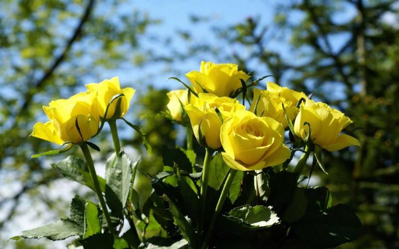 hinh anh dep hoa hong vang