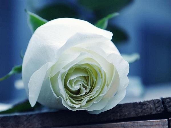 Hoa hong trang tang nguoi yeu