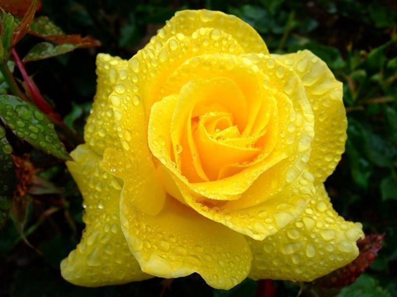 hình ảnh hoa hồng vàng đẹp