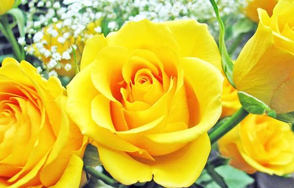 hình ảnh đẹp hoa hồng vàng 7