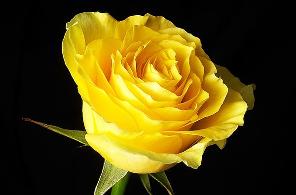 hình ảnh đẹp hoa hồng vàng 6