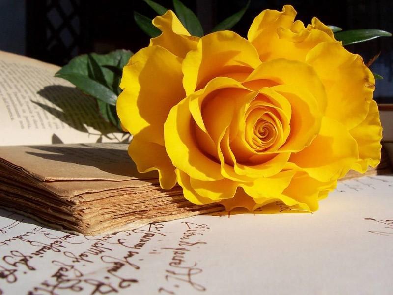 hình ảnh đẹp hoa hồng vàng 2