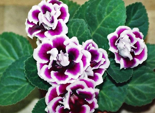 hoa chuong dep