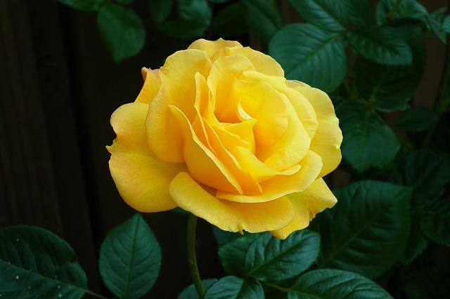 hoa tình bạn hồng vàng