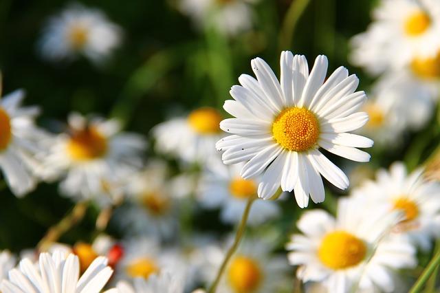 hoa cúc tình bạn