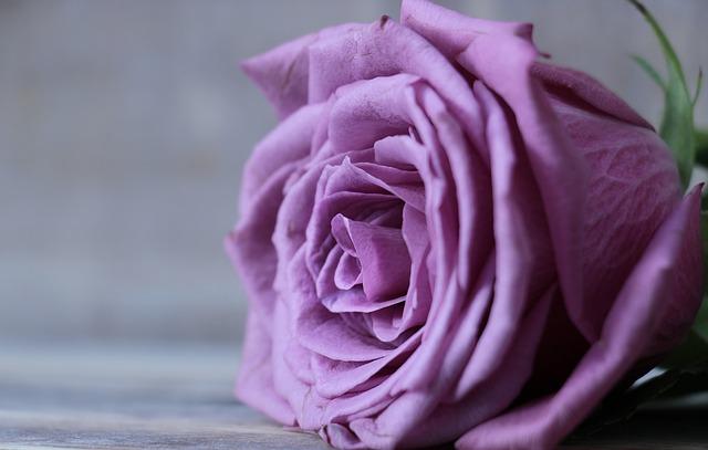 y nghia hoa hong tim