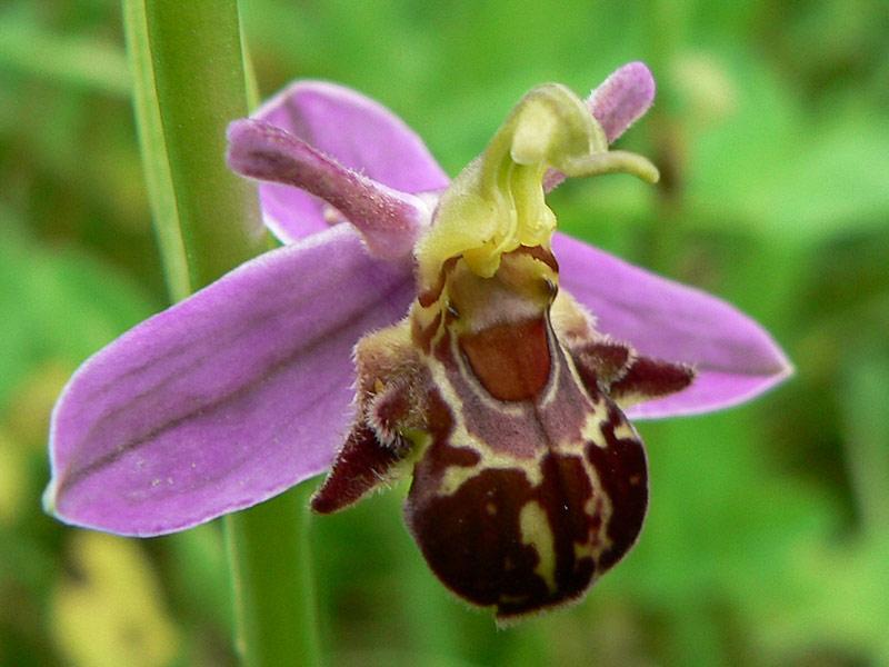 hoa ong