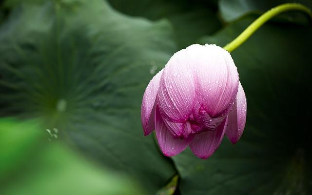 y nghia hoa sen trong tinh yeu