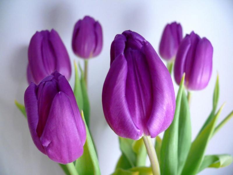 hoa tulip tim