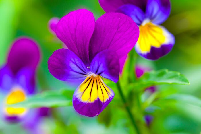 hoa panse