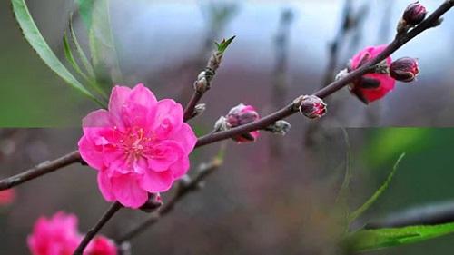 hoa dao co y nghia gi